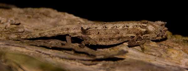 Brookesia chameleon on 3cm's long (smallest chameleon in the world)