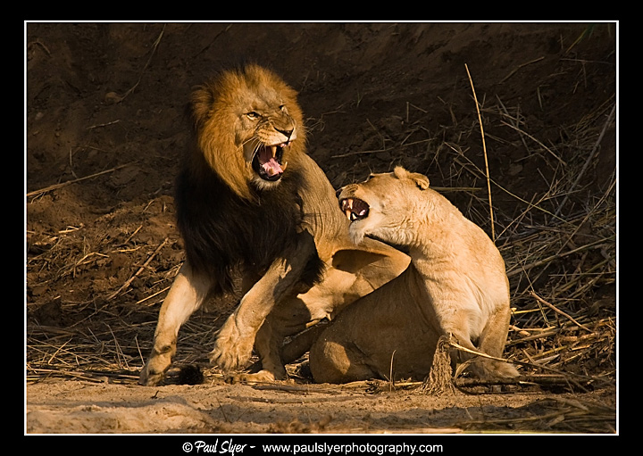 Lion fight with man - photo#50